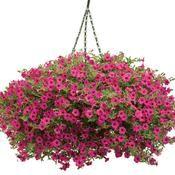 Supertunia Sangria Charm Petunia from Proven Winners