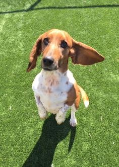Lucy--I'm an Adoption Center Dog! is an adoptable Basset Hound searching for a forever family near Chicago, IL. Use Petfinder to find adoptable pets in your area.