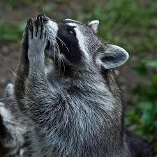 """Résultat de recherche d'images pour """"Raccoon"""""""