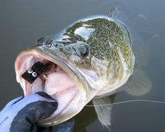 Murray Cod Cod Fish, Fish Camp, Bass Fishing, Digital Art, Camping, Nice, Pictures, Cod, Campsite