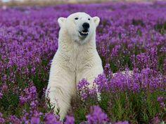 Esse urso polar parece um pouco perdido ao ver sua camuflagem inutilizada no meio de um campo de flores  Foto: The Grosby Group