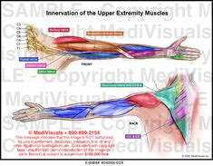 Innervation of the Upper Extremity Muscles Medical Exhibit Medivisuals