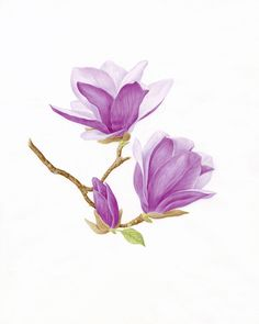 Catherine M. Watters Saucer Magnolia Magnolia x soulangeana Watercolor on vellum 13 x 10 inches Illustration Botanique, Plant Illustration, Botanical Illustration, Art Floral, Motif Floral, Floral Artwork, Watercolor Cards, Watercolour Painting, Watercolor Flowers