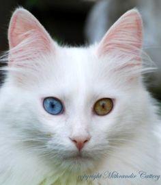 Turkish Angora Cats - the Energetic Explorers