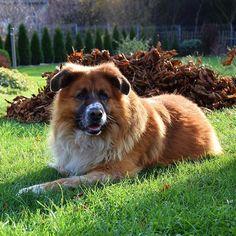 Dzisiejszy pomocnik😊 pracowita sobota. A jak Wam minął dzień?  Dobranoc!😊 __________ #pies #dog #mojpies #mydog #ogród #garden #mójogród #mygarden #piesnajlepszyprzyjacielczlowieka #dogmansbestfriend #pieseł #mieszaniec #przyjaciel #friend #mojprzyjaciel #myfriend #october #saturday #instagramdog #instadog #doglove #ilovemydog #instagarden #dogoftheday #dobranoc #goodnight #toni #liście #leaves #kasztanowiec Garden, Dogs, Animals, Garten, Animales, Animaux, Lawn And Garden, Pet Dogs, Gardens
