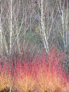 Dogwoods and container displays.... and car parks