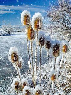 Hiver - neige *m Winter Snowy Thistle`s Winter Szenen, I Love Winter, Winter Magic, Winter Time, Winter Christmas, Clear Winter, Winter's Tale, Snowy Day, Snow Scenes