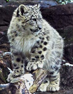 Snow Leopard Stock 40: Cub by HOTNStock More