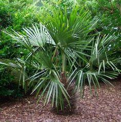 Rhapidophyllum hystrix. Needle Palm. Zone 7. 6'-8' high & wide.