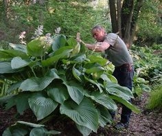 Empress Wu hosta, grows to a gigantic height of 150 cm. or 59 inches. This is a must have for me!