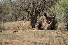 Big Sleeping Rhino - Kruger National Park, South Africa