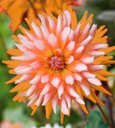Dahlia 'Orange Turmoil'