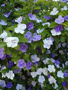 Brunfelsia (Jazmín del Paraguay) Flores