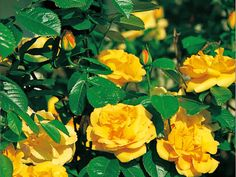 CLIMBING ROSES have larger flowers, similar to other garden roses, that are typically held singly or in small groups, and they usually have the ability to repeat bloom. The uses for climbers are almost endless. They have a more rigid framework.