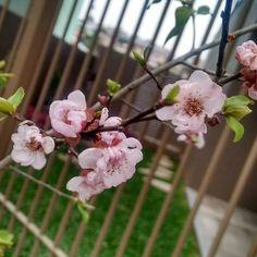 Cerejeiras lá fora.