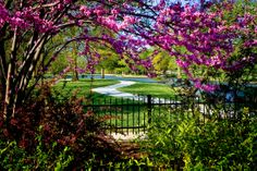 Redbuds in bloom at Swan Court in Lakeside Park. Photo by Bob Dell.