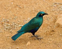 Cape Glossy Starling  Photo by Luke Robinson, you can find him on flickr but his blog is wonderful: http://blog.mortalcoil.com/