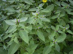 Galeopsis tetrahit plant2.jpg