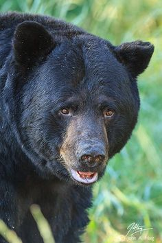 Big Daddy Bear.  Go to www.YourTravelVideos.com or just click on photo for home videos and much more on sites like this.