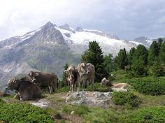 Switzerland Aletschwald.
