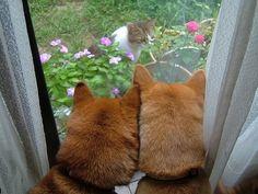 柴犬と猫 Shiba Inu