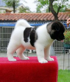 American Akita puppy. I miss my Akita, King Kong. He was big, strong and sweet.