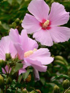 Moogonghwa (Hibiscus) flower - the Korean national flower (and a Korean train)