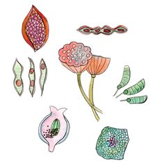 #ifdrawaweek #ifdrawaweek19 #seedpods #watercolor #illustration #doodle #drawingchallenge #12monthsofpaint