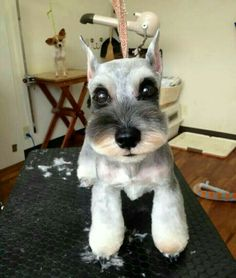 Schnauzer in Japanese Style – My Funny Dog Grooming Style Schnauzer Cut, Schnauzer Grooming, Miniature Schnauzer Puppies, Pet Grooming, Miniture Poodle, Grooming Salon, Schnauzers, Cortes Poodle, Dog Grooming Styles