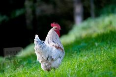 Free Pictures, Free Images, Tyson Chicken, Cool Gadgets, How Beautiful, Animals, Roosters, Financial News, Celebrity News