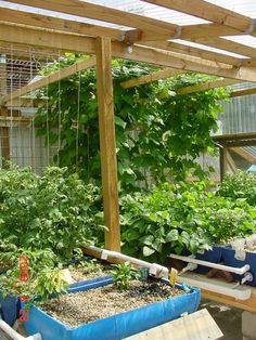 Hydroponics Barrelponics - I'd like to try this. Plants grow in gravel and are watered from a tank filled with talipia, which provides the fertilizer - and you can eat the fish too! Aquaponics Greenhouse, Aquaponics System, Diy Greenhouse, Hydroponic Gardening, Aquaponics Diy, Organic Gardening, Gardening Tips, Edible Garden, Vegetable Garden