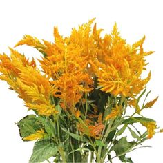 Yellow Celosia Cockscomb Flower 1000 Seeds ** Quickly view this special  product, click the image : home diy yard
