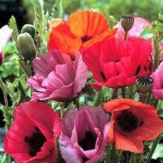 Haremstraum Mix oriental poppy seeds - Garden Seeds - Perennial Seeds.