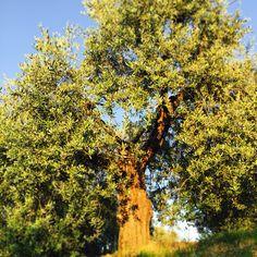 Vanha oliivipuu Plants, Italia, Flora, Plant, Planting