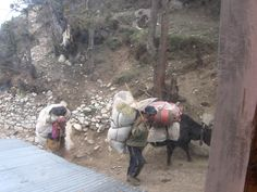 Nepali farmer carries his produce on his back and on his pack yak.