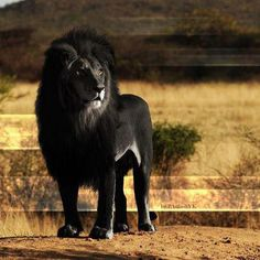Stunning black lion.