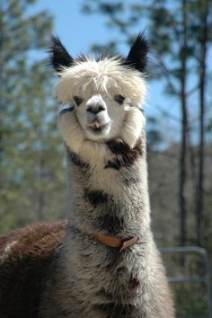 Chester Farm Animals, Animals And Pets, Funny Animals, Cute Animals, Alpacas, Beautiful Creatures, Animals Beautiful, Lama Animal, Cute Alpaca