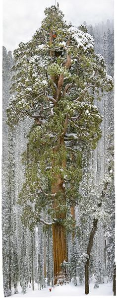 Sequioa in a Snowstorm by nationalgeographic: 'President' is a 3,200 year old giant sequio whose trunk is 27 feet wide and whose branches hold 2 billion needles... #Tree #Sequoia