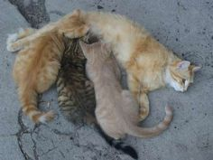 Vier junge, halblanghaarige Bauernhofkätzchen 25157489 Cats, Animals, Guys, Animales, Gatos, Animaux, Animal, Cat, Animais
