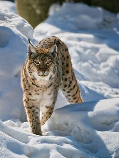 'Prowling' by Christian Roeschert ~ Winter Lynx