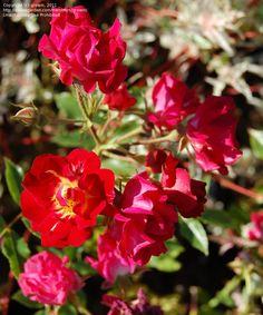 'Red Drift'  Shrub rose. Alain Meilland (France, 2005).