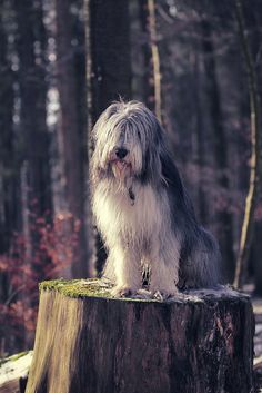 Old english sheepdog.  This reminds me of the sheep dog in 101 Dalmations and in the road runner.