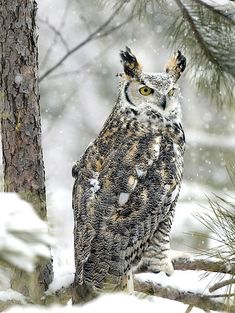 Great Horned Owl | Nongame | New Hampshire Fish and Game Department