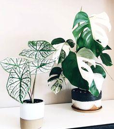 Green white houseplants are an absolute dream – 紫苑 – NeuPin Best Indoor Plants, Indoor Garden, Indoor Cactus, Green Plants, Potted Plants, Foliage Plants, Cactus Plants, Rare Plants, Plantas Indoor