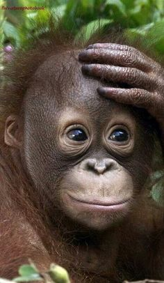 Cute Chimp ❤ On darn!, my mom's gonna kill me, I forgot my sister at school. Primates, Cute Baby Animals, Animals And Pets, Funny Animals, Beautiful Creatures, Animals Beautiful, Baby Orangutan, Cute Monkey, Tier Fotos