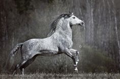 """2,350 Likes, 2 Comments - Equine Photography (@equinebyemmy) on Instagram: """"PRE stallion Selecto. . . © Dont use without Permission! #equine #equestrian #horse #pferd #pferde…"""""""