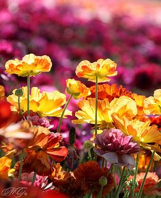 gotta make it here one day - flower fields, carlsbad