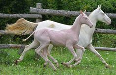There is a genetic condition in the Akhal-Teke horse breed called Naked Foal Syndrome. The affected colt has almost no hair. What little coat he has is cremello, which leads to a very strong dilution of the pigmentation but is unrelated to the syndrome.
