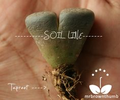 Because they come from a dry region Lithops have fairly long taproots for such small plants. Taproots not only help anchor plants into the soil, . Unusual Plants, Cool Plants, Air Plants, Garden Plants, House Plants, Small Plants, Growing Succulents, Cacti And Succulents, Planting Succulents
