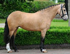 IDSH, Irish Draught Sport Horse mare. Pinned courtesy @Barbara Acosta Acosta Acosta Acosta Acosta Barham